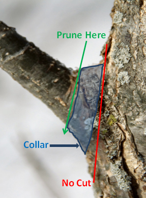 "Figure 1.  The object of pruning is to remove a branch but not cut so much off that it leaves a big wound.  If you cut along the red line (cut the branch off smoothly with the trunk) a large wound is left for the tree to heal.  Pruning along the green line leaves a ""bump"" but this smaller wound will heal more quickly and be less prone to disease.   As the tree continues to grow this bump will be incorporated into the trunk"